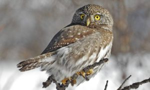 NORTHERN PYGMY OWLS Cutest Animals In The World