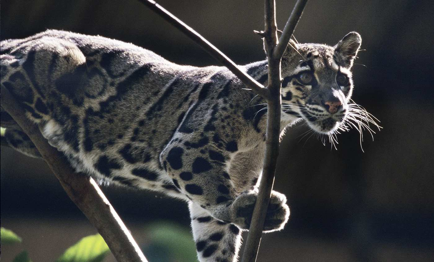 Top 15 Largest Cats