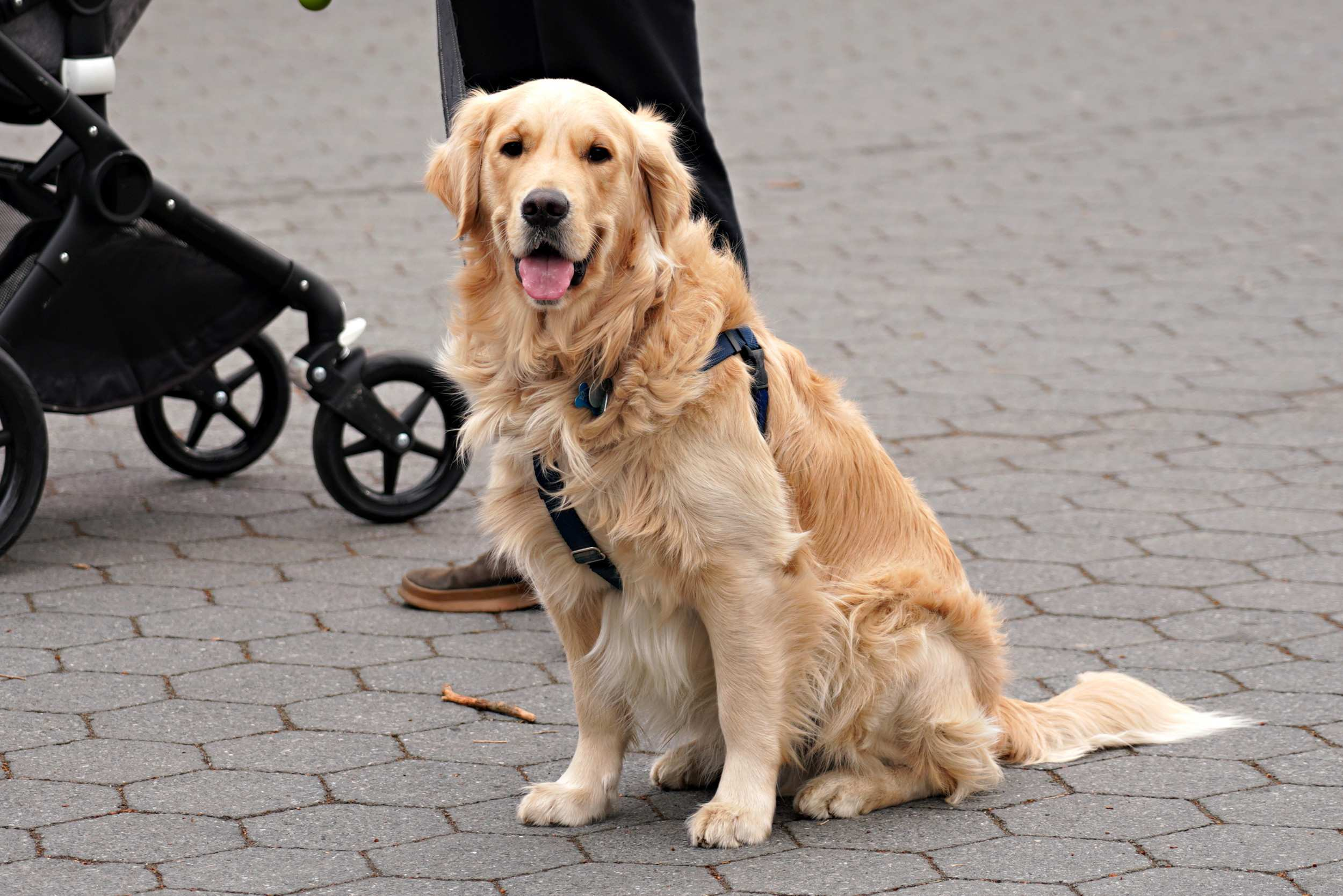 GOLDEN RETRIEVER Dogs Breed In The World