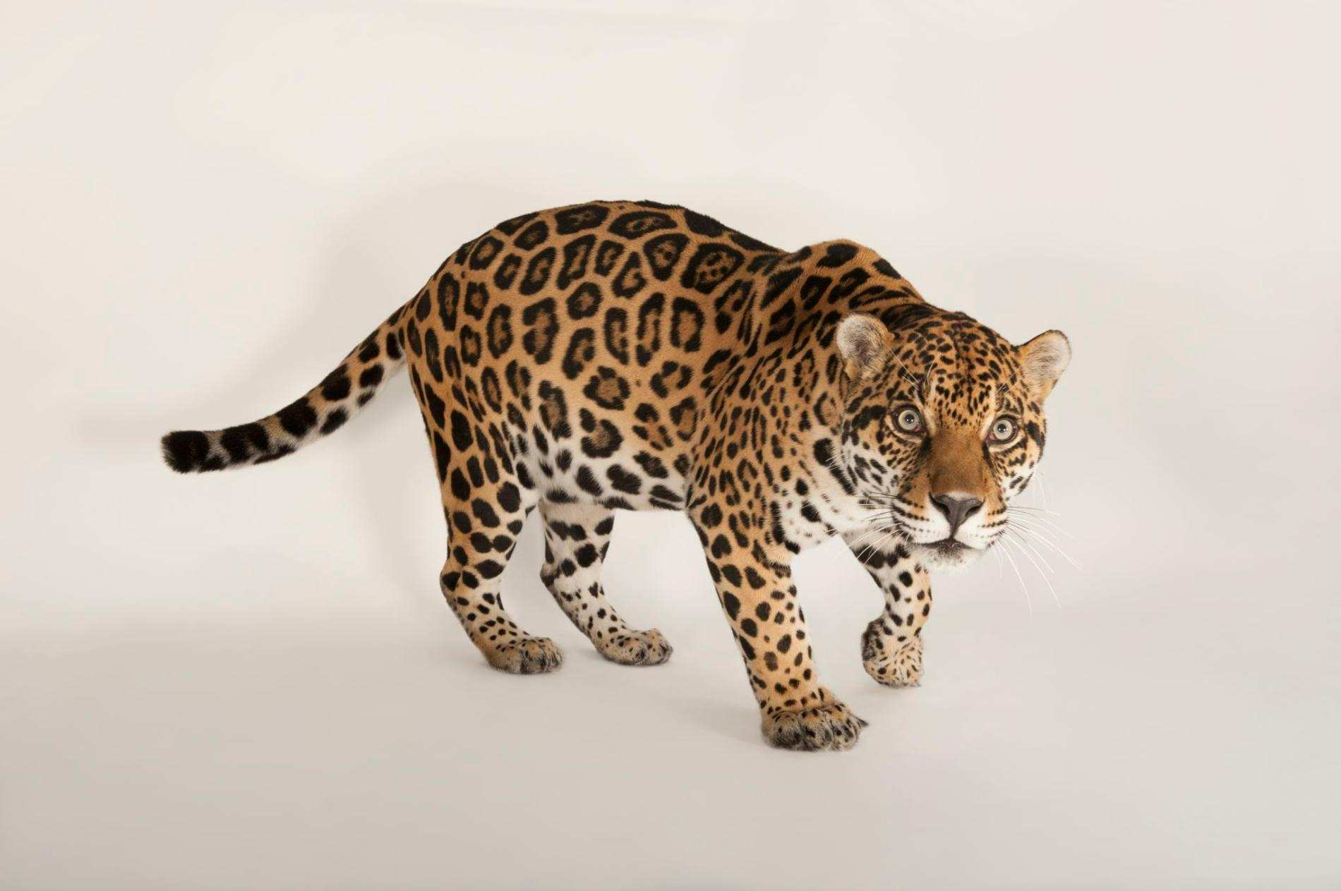 15 Largest Cats In The World