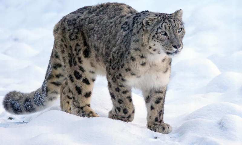 Largest Cats In The World