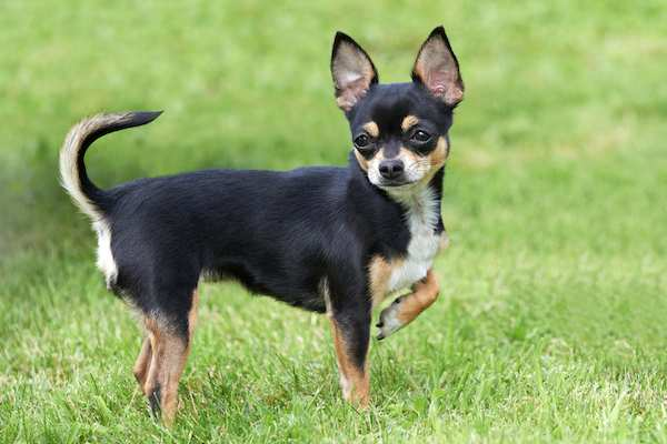 THE CHIHUAHUA Dogs Breed In The World