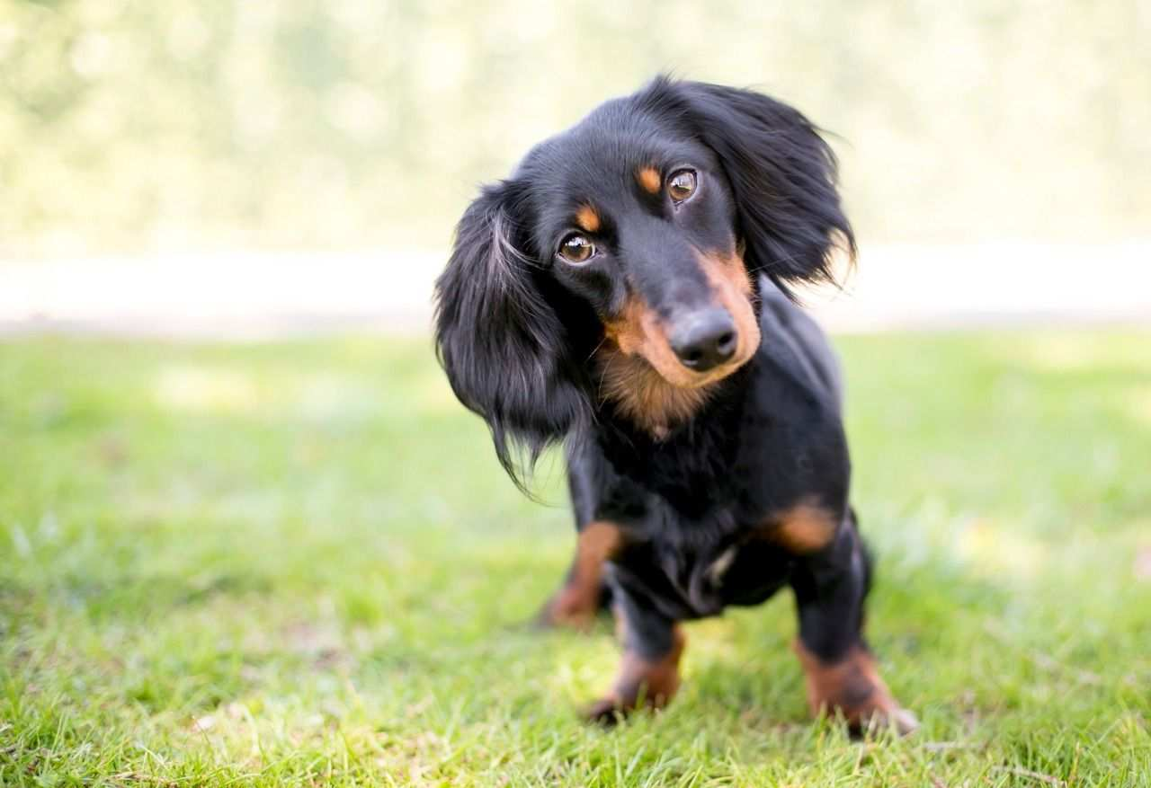 THE DACHSHUND Dogs Breed In The World