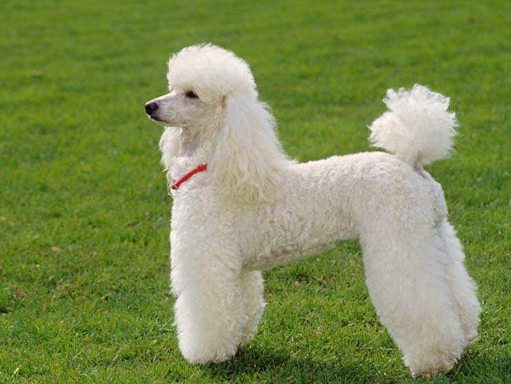 THE POODLE 15 Dogs Breed In The World