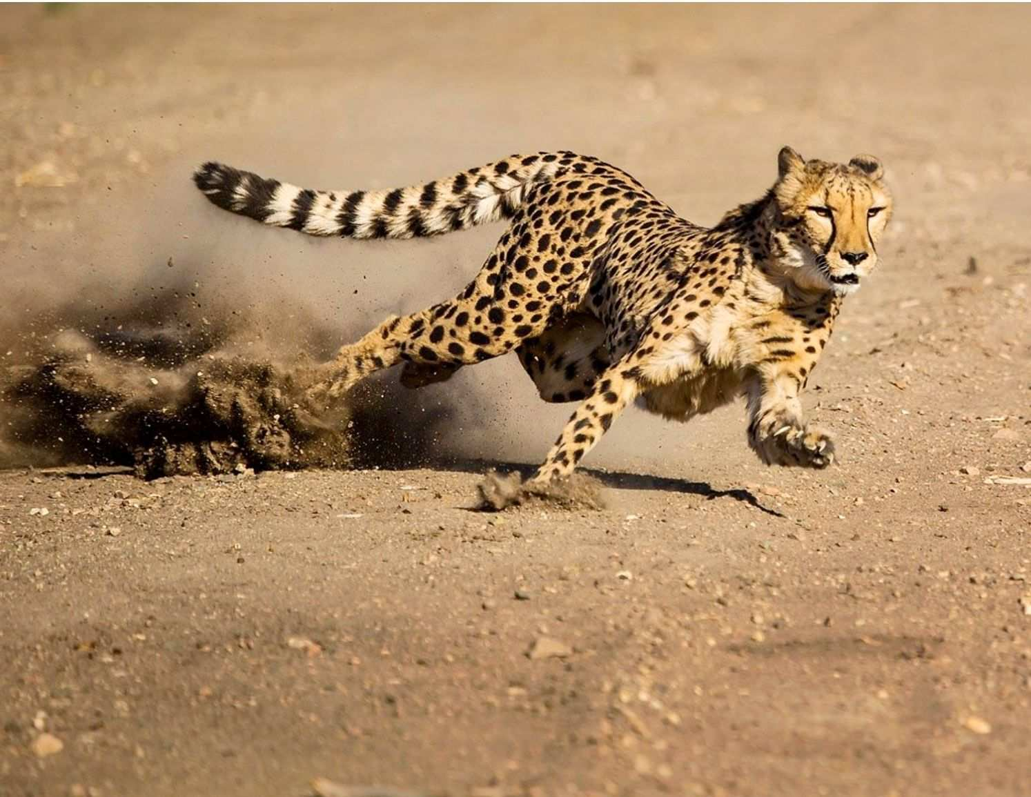 Top 15 Largest Cats In The World