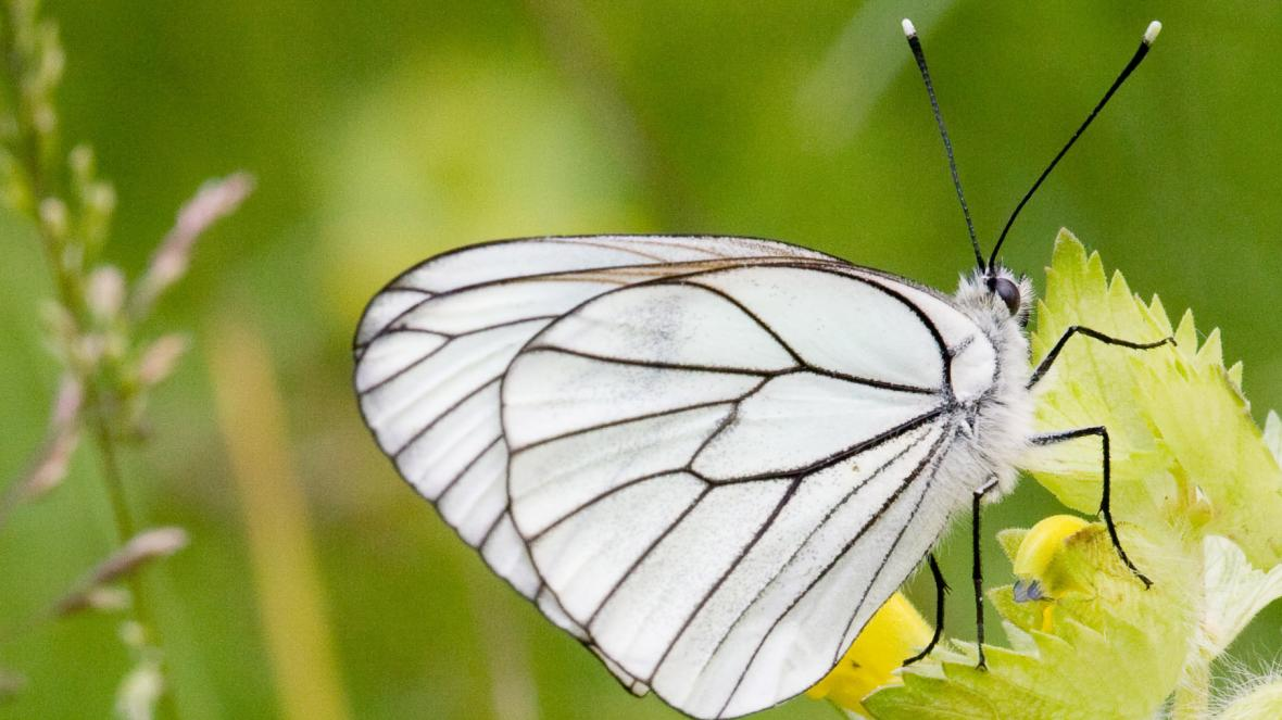 Top 15 Smallest Butterfly in the World