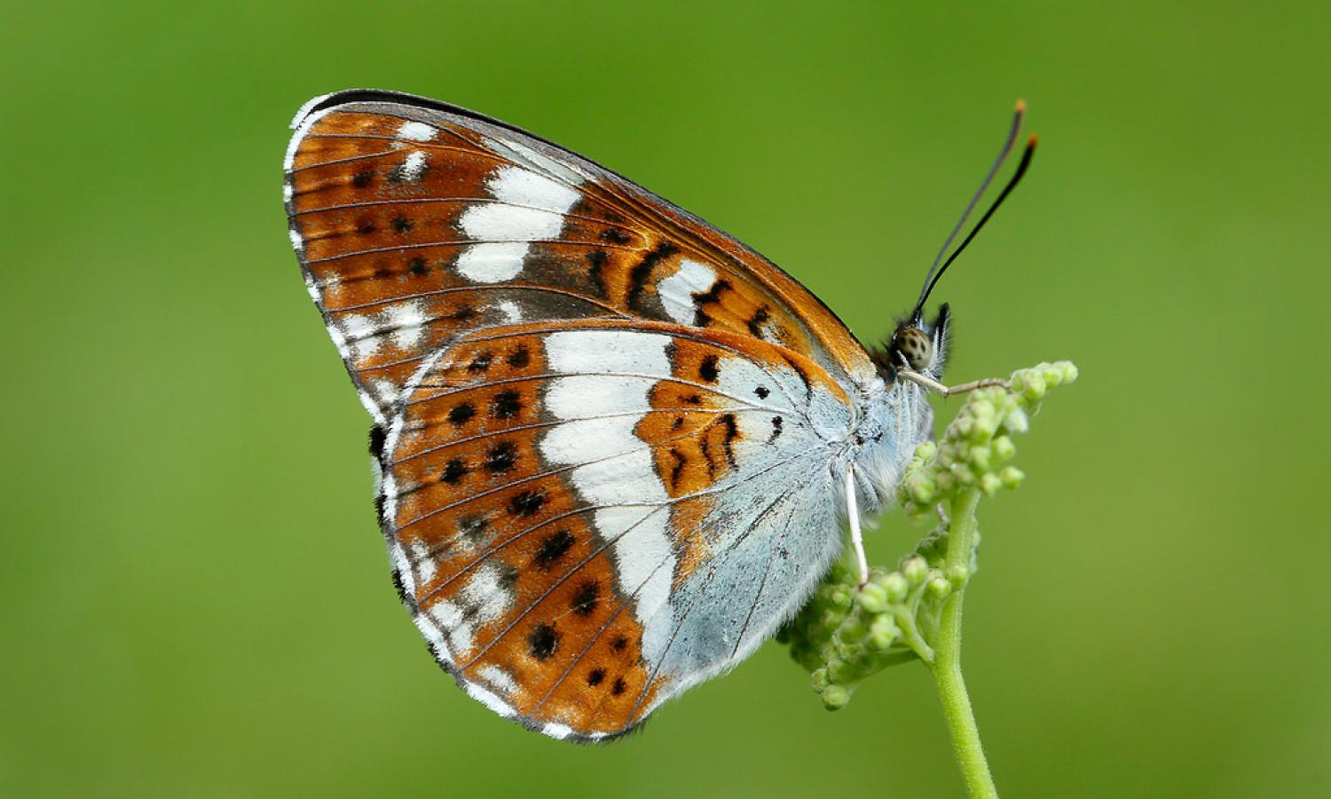 15 Smallest Butterfly in the World