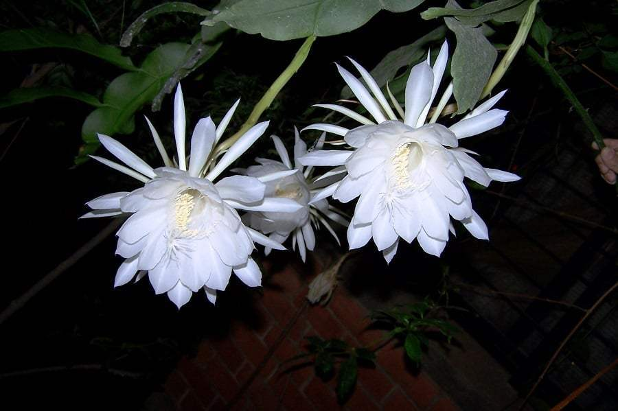 Top 10 Most Beautiful Flowers that Bloom only at Night