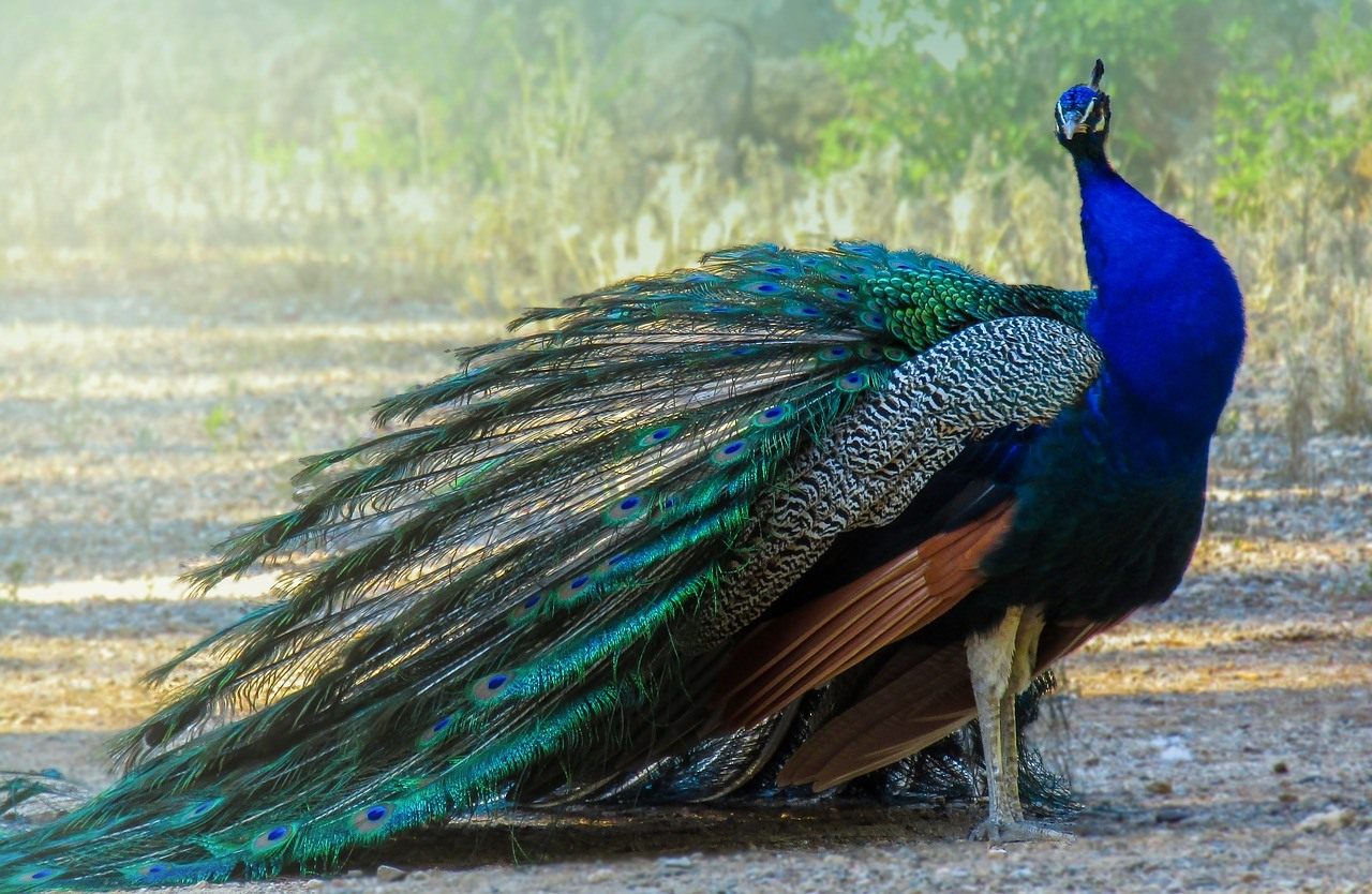 Indian peafowl Beautiful birds of the world