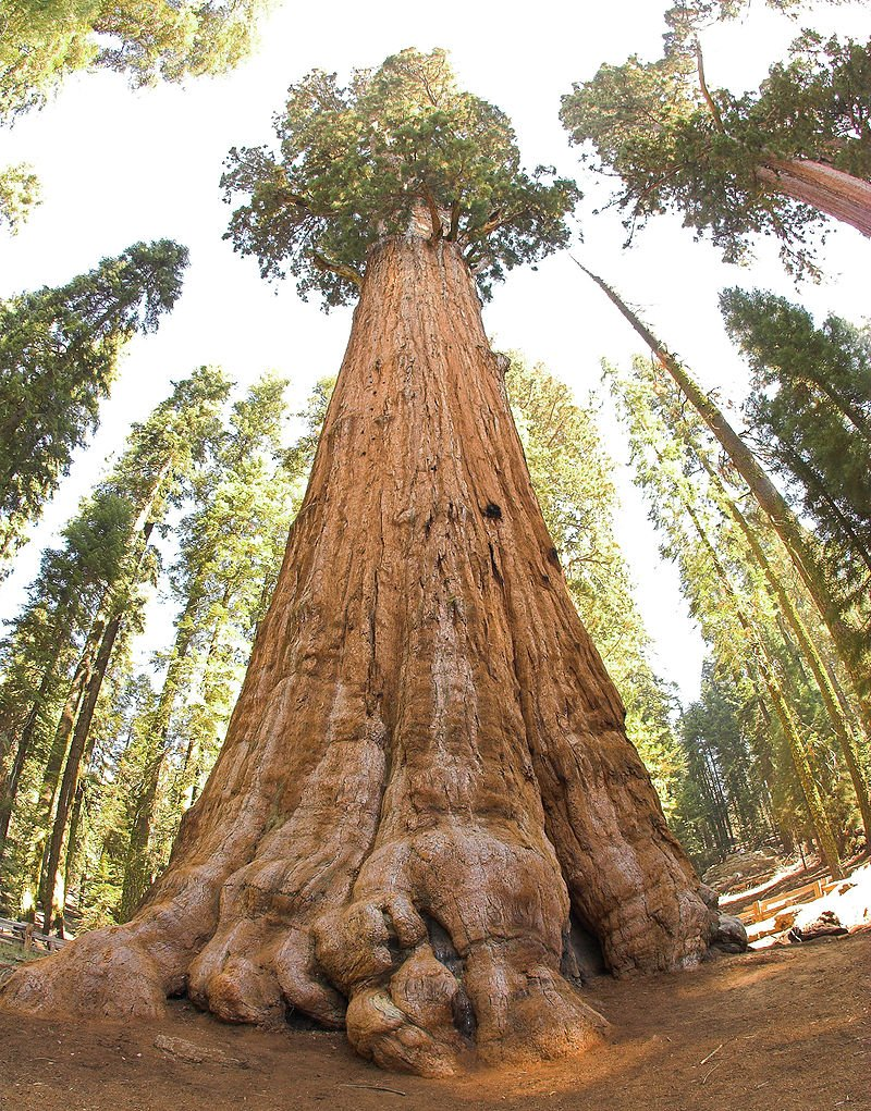 King Stringy Biggest Tree In The World