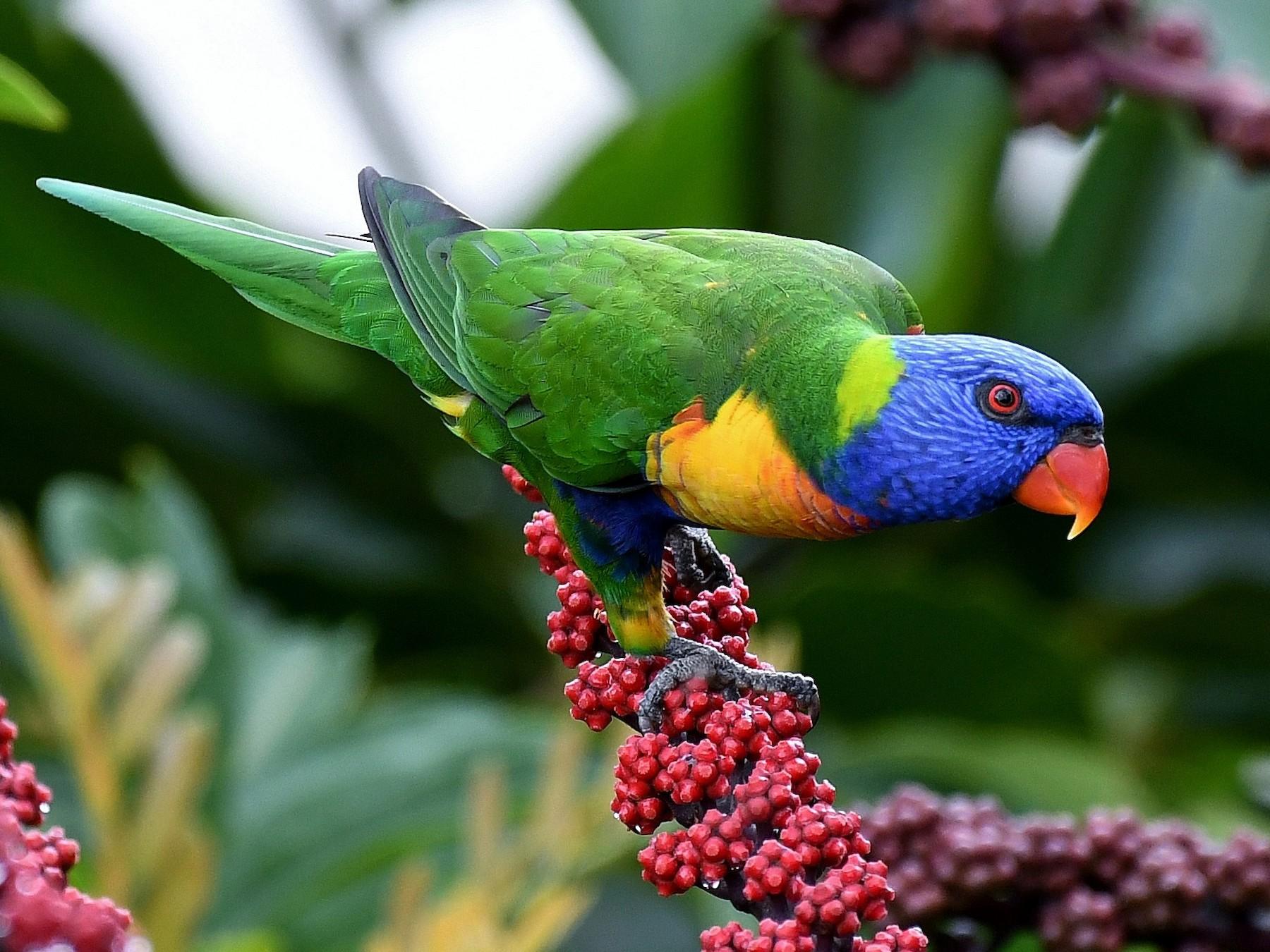 Rainbow Lorikeet Beautiful birds of the world