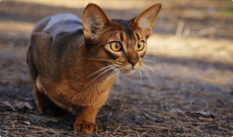 Abyssinian MOST POPULAR CAT BREEDS IN THE WORLD