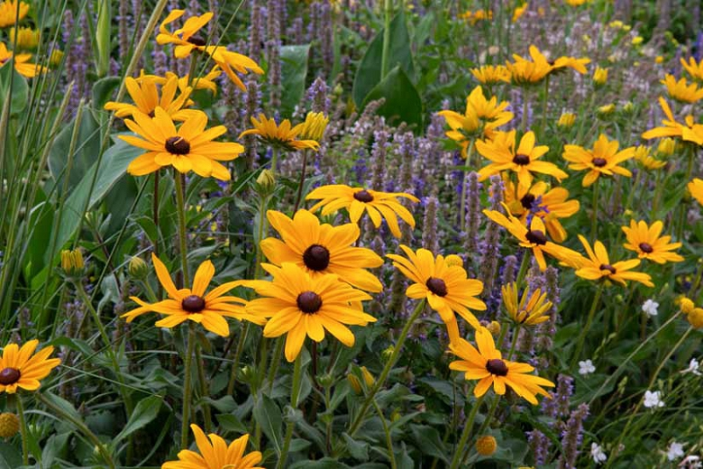 Indian Summer Rudbeckia Largest Flowers