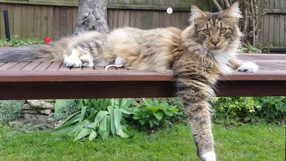 Maine Coon MOST POPULAR CAT BREEDS IN THE WORLD