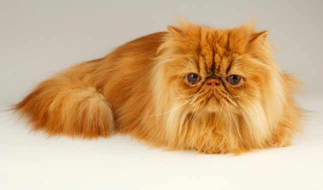 Persians 10 MOST POPULAR CAT BREEDS IN THE WORLD