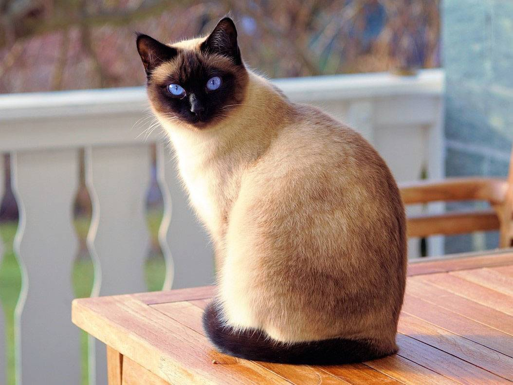 Siamese POPULAR CAT BREEDS IN THE WORLD