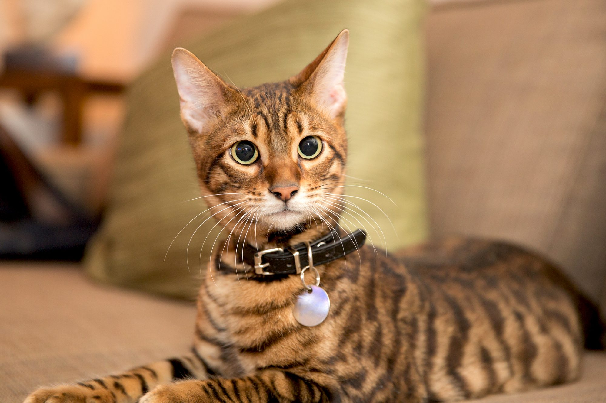 Toyger 10 MOST POPULAR CAT BREEDS IN THE WORLD