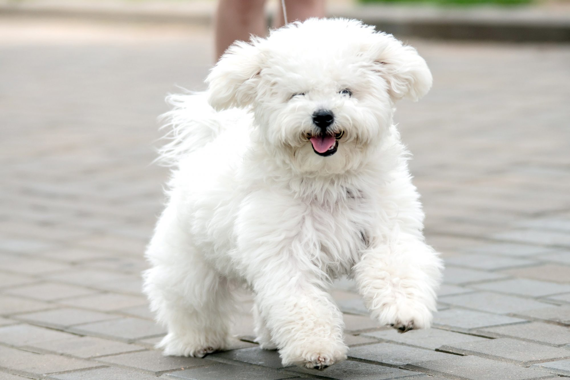 Bichon Frise Best Dogs for Apartment Living