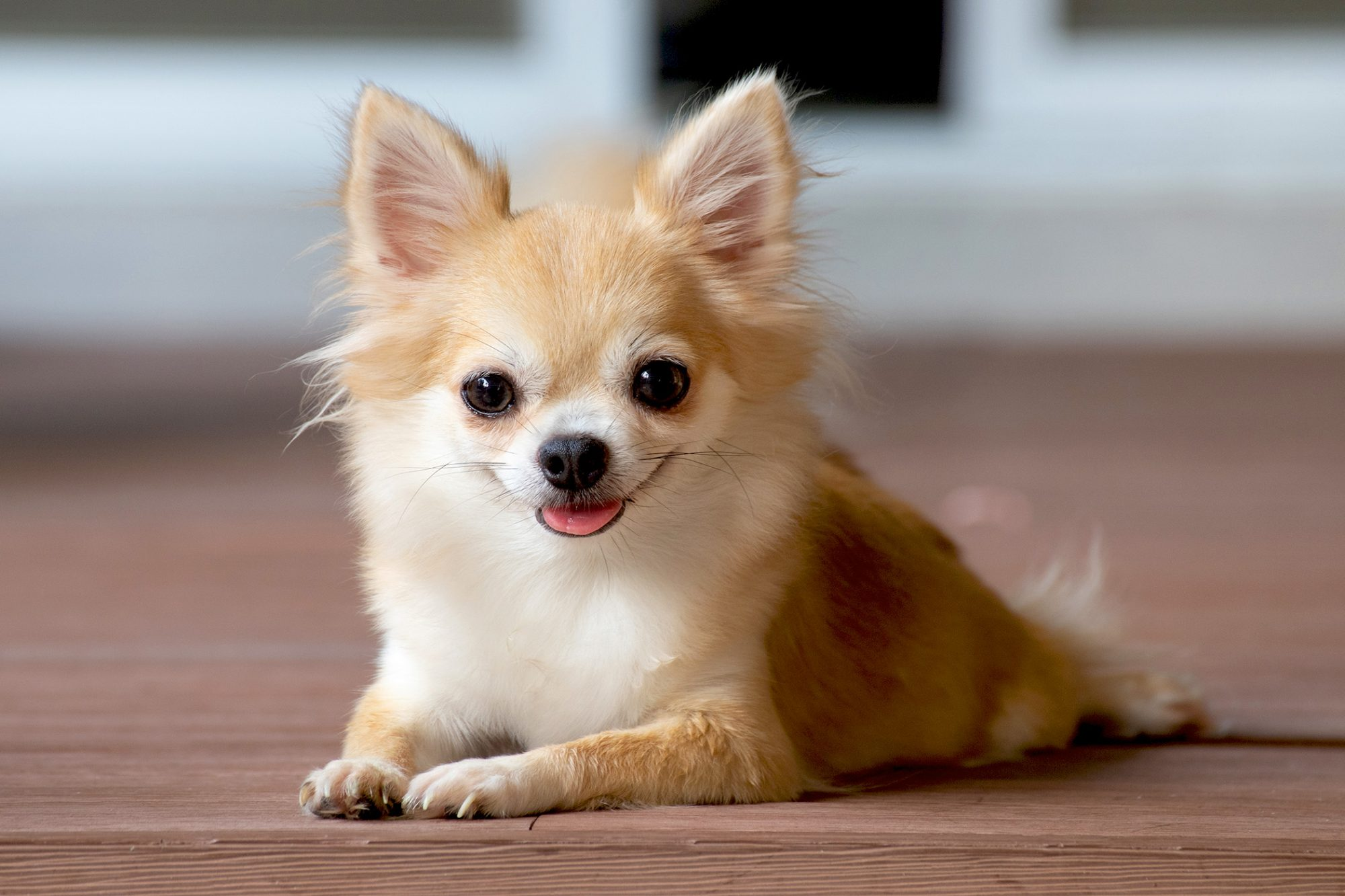 Chihuahua 15 Best Dogs for Apartment Living