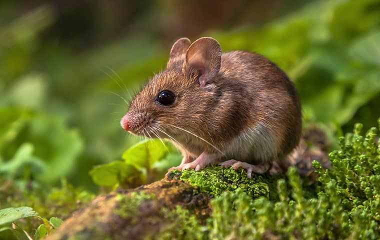 Field Mouse Cutest Animals in The World