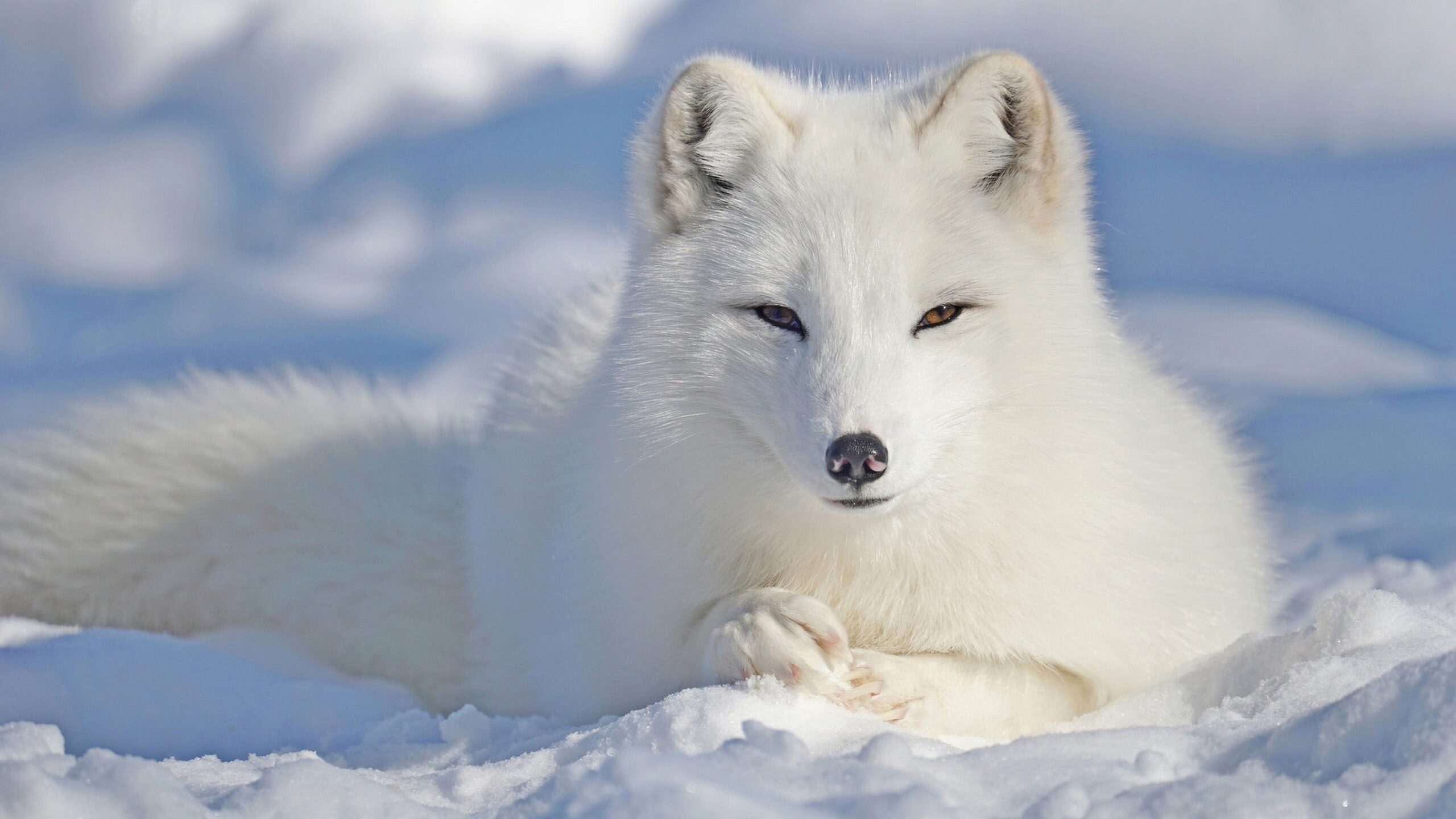 Fox in the Arctic Cutest Animals in The World