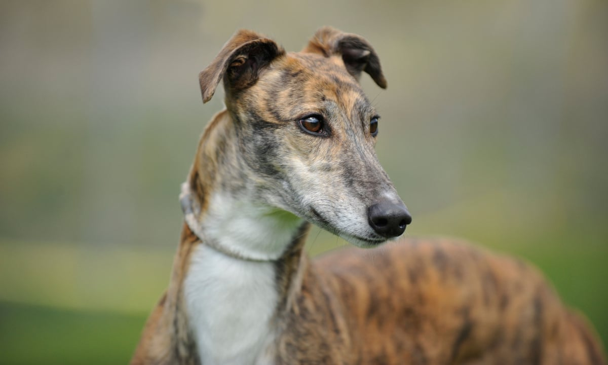 Greyhound 15 Best Dogs for Apartment Living