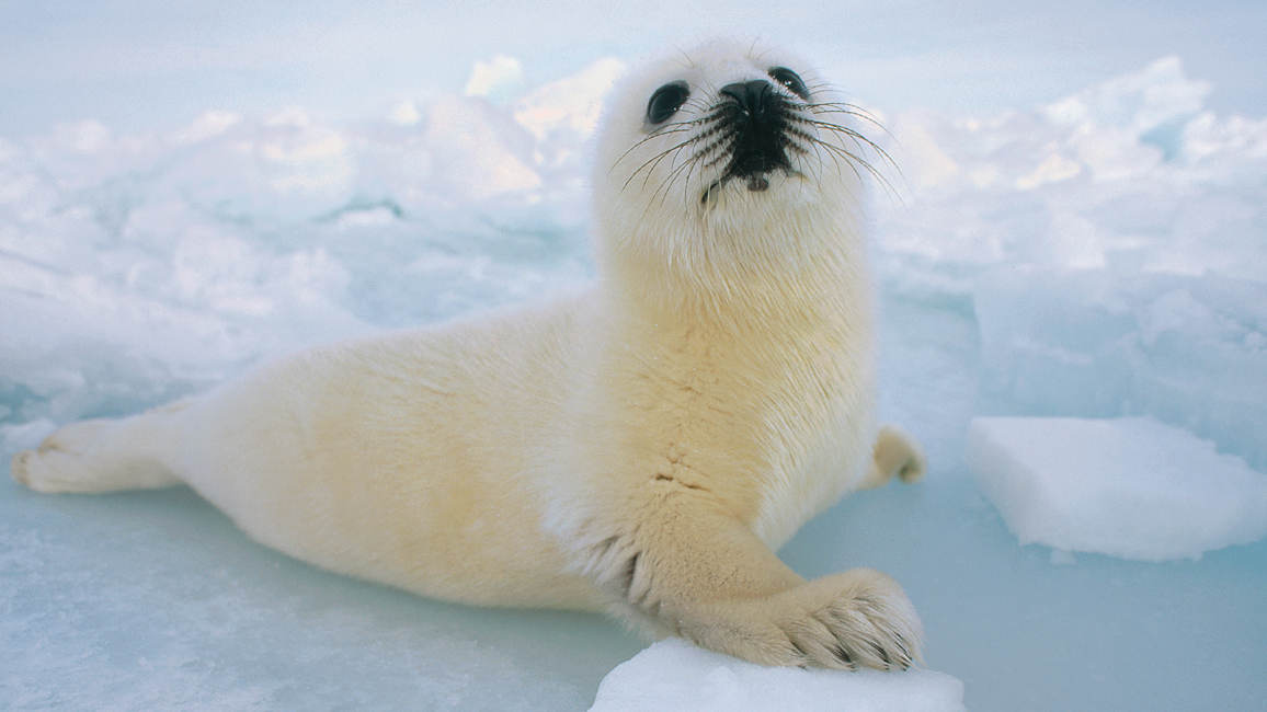 Harp Seal Cutest Animals in The World