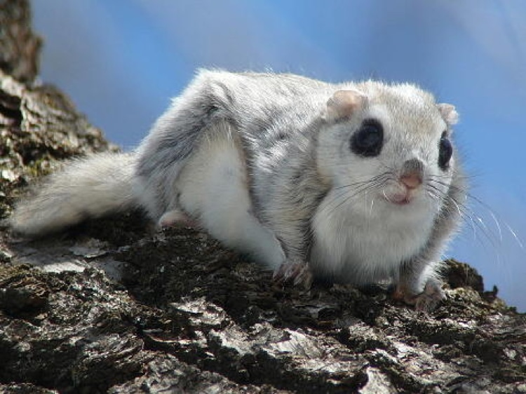 Siberian Flying Squirrel Cutest Animals in The World