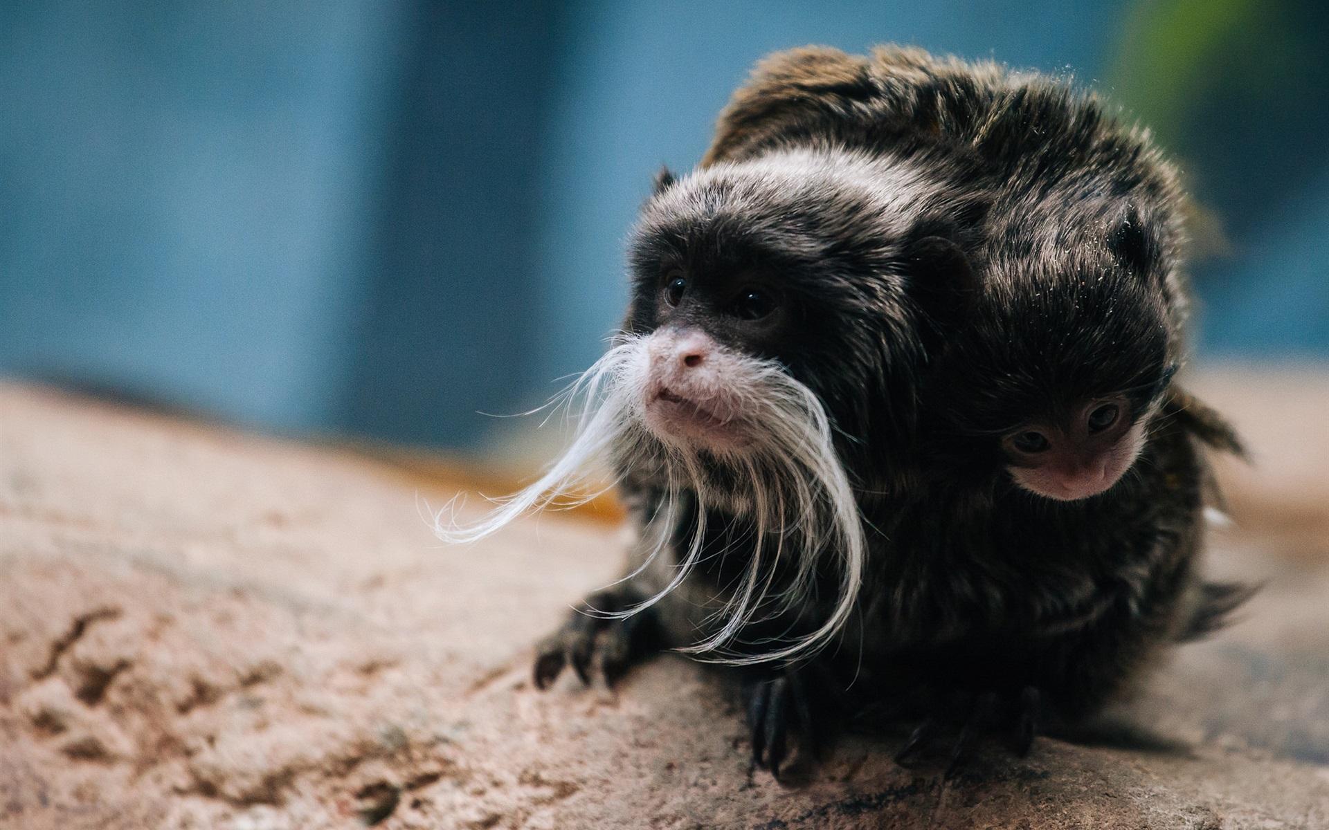 Tamarin Monkeys Barbed