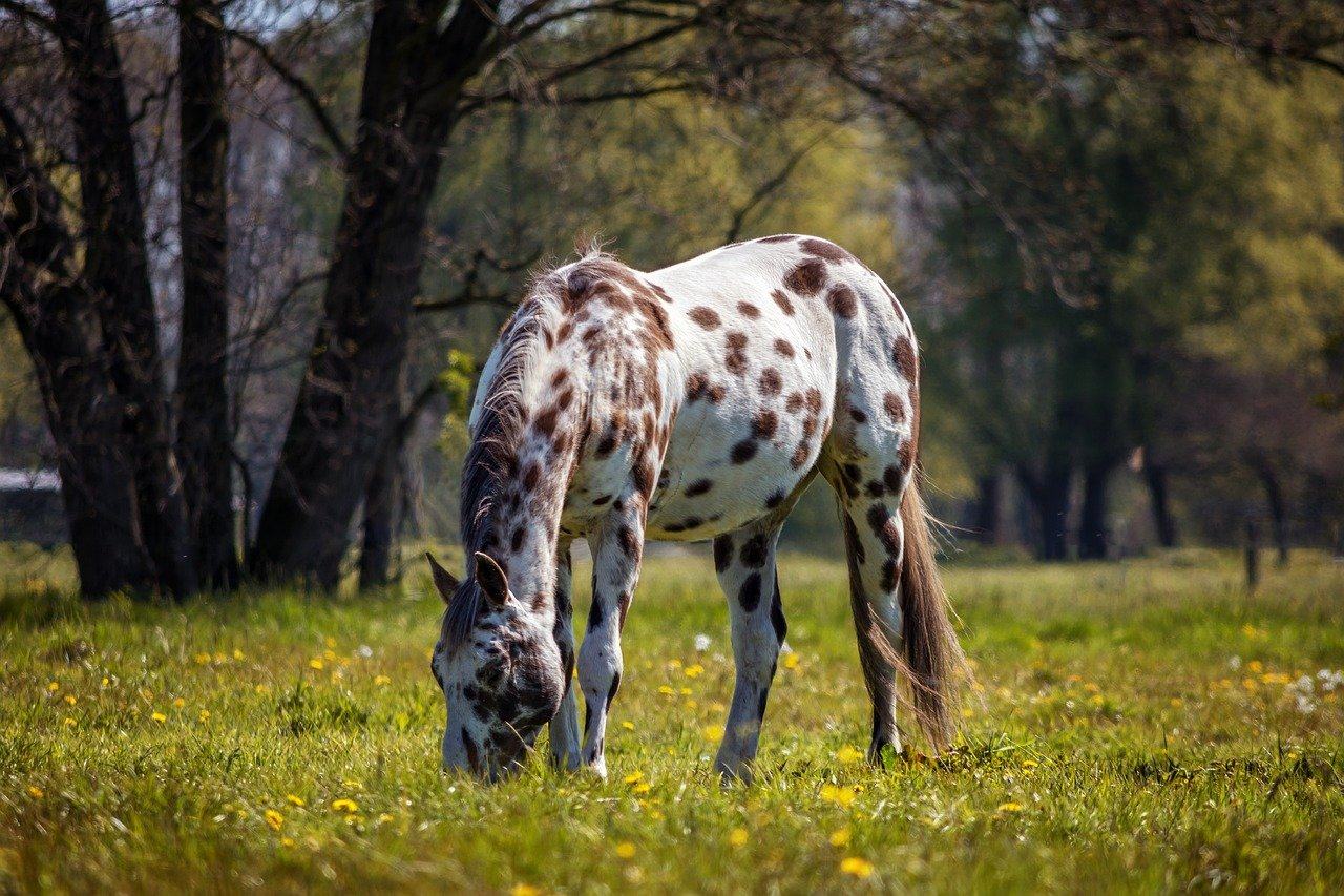Appaloosa Most Expensive Horse breed