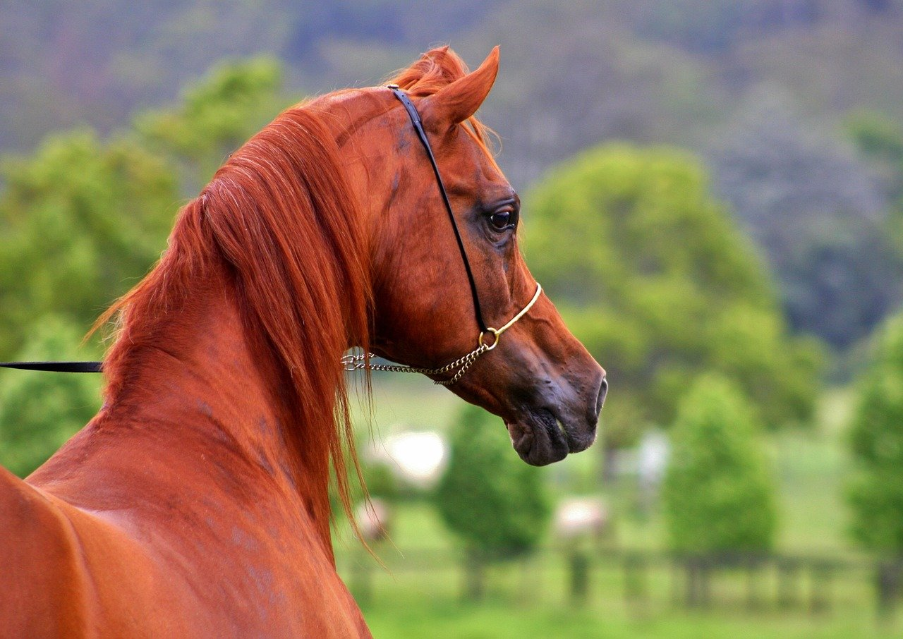 Arabians Most Expensive Horse breed