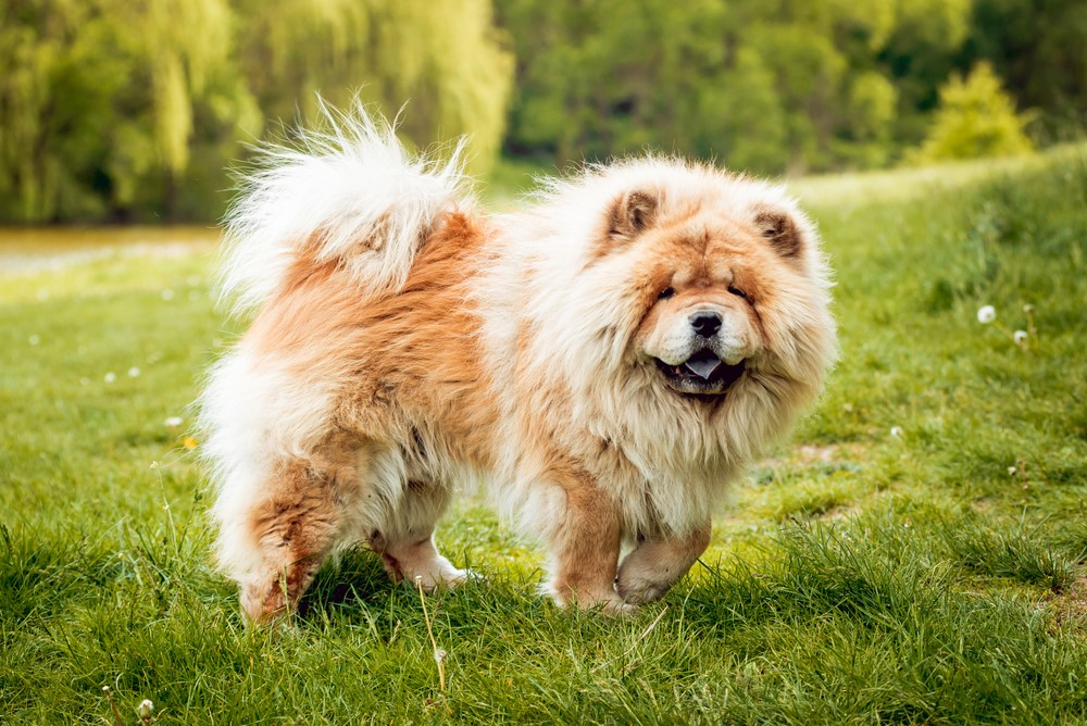 Chow Chow – $11,000 Most Expensive Dogs