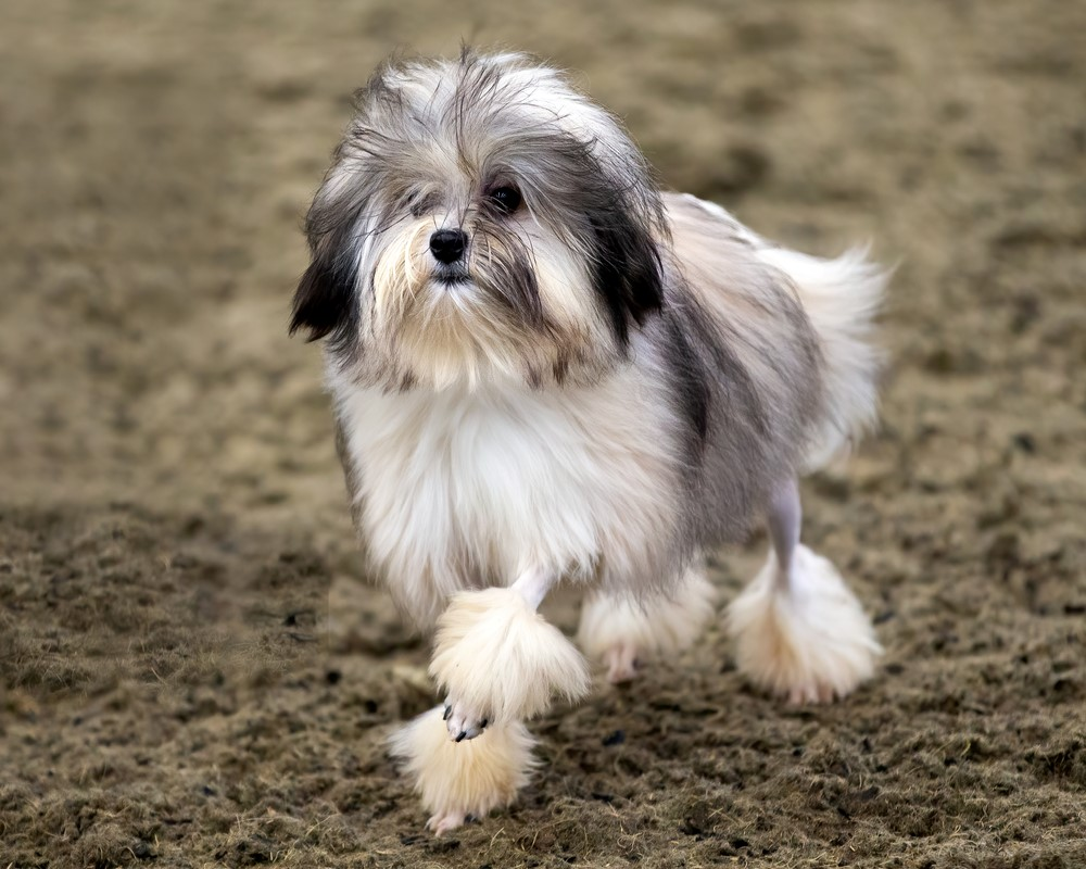 Löwchen – $12,000 Most Expensive Dogs