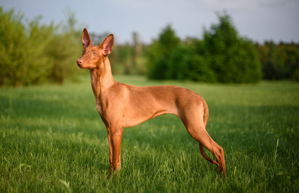 Pharaoh Hound – $7,500 Most Expensive Dogs
