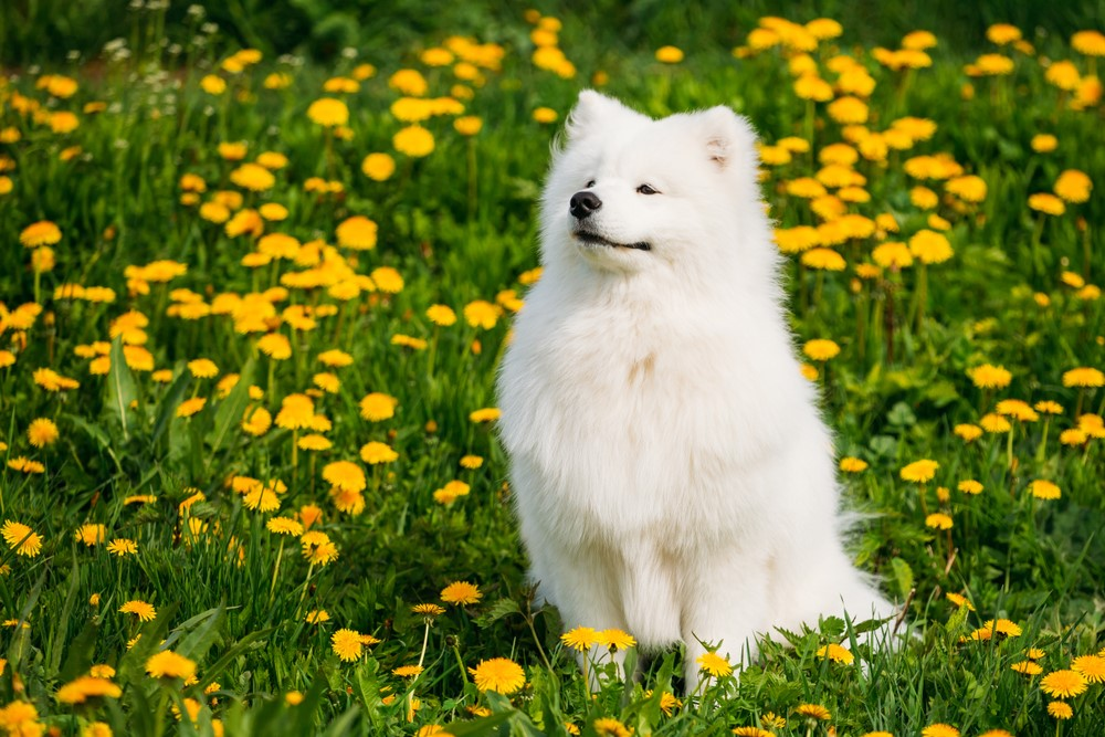 Samoyed – $14,000 Most Expensive Dogs